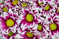 De bloemen van de chrysant royalty-vrije stock afbeeldingen
