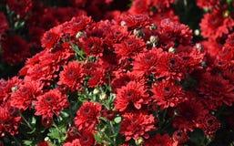 De bloemen van de chrysant Stock Foto's