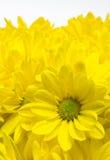 De bloemen van de chrysant met regendalingen Stock Foto