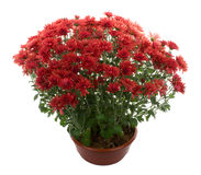 De bloemen van de chrysant in pot Royalty-vrije Stock Fotografie
