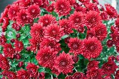 De bloemen van de ChrysanthemumAutumnchrysant Royalty-vrije Stock Foto