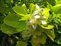 De bloemen van de citroenboom Stock Foto's