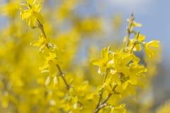 De Bloemen van de close-upforsythia stock afbeeldingen