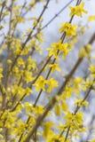 De Bloemen van de close-upforsythia stock afbeelding