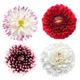 De bloemen van de dahlia royalty-vrije stock afbeelding