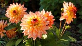 De bloemen van de dahlia in de herfst stock foto's