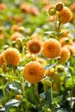 De bloemen van de dahlia die met daglicht worden aangestoken stock foto