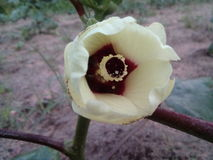 De bloemen van de damevinger Stock Afbeelding