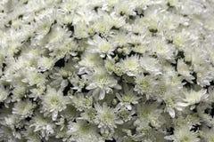 De bloemen van de de herfstchrysant Stock Afbeeldingen