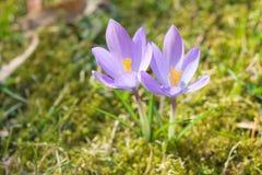 De bloemen van de de krokuspastelkleur van het de lentezonlicht op zonneschijn Alpiene weide royalty-vrije stock fotografie