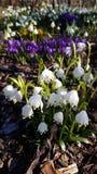 De bloemen van de de lentedauwdruppel stock foto