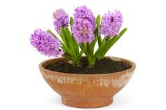 De bloemen van de de lentehyacint in een pot Stock Afbeeldingen