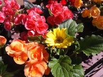 De Bloemen van de de lentekleur Stock Afbeeldingen