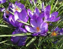 De Bloemen van de de lentekrokus Stock Foto's