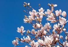 De Bloemen van de de lentemagnolia en Blauwe Hemel Stock Foto's
