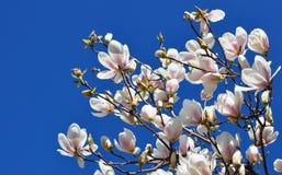 De Bloemen van de de lentemagnolia en Blauwe Hemel Royalty-vrije Stock Foto