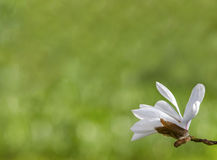De bloemen van de de lentemagnolia, zachte bloemenachtergrond Royalty-vrije Stock Afbeelding