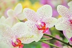 De bloemen van de de lenteorchidee Stock Fotografie