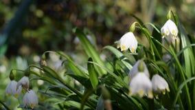 De bloemen van de de lentesneeuwvlok stock footage