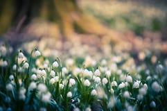 De bloemen van de de lentesneeuwvlok komen tot bloei, bloeiend in natuurlijk milieu van bos, hout De lenteachtergrond met sterke  royalty-vrije stock fotografie