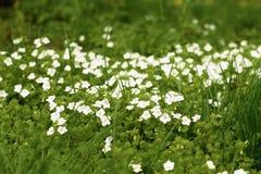 De bloemen van de de lentetijd in Moskou Royalty-vrije Stock Foto's