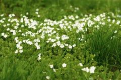 De bloemen van de de lentetijd in Moskou Stock Afbeeldingen