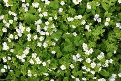 De bloemen van de de lentetijd in Moskou Stock Fotografie