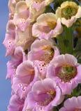 De Bloemen van de digitalis Stock Foto