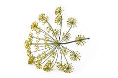 De bloemen van de dille Stock Afbeeldingen