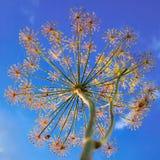 De bloemen van de dille en een blauwe hemel Stock Foto's