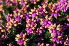 De bloemen van de dopheide Stock Afbeeldingen