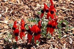 De Bloemen van de Erwt van de Woestijn van Sturt - Swainsona Formosa Stock Fotografie