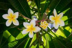 De bloemen van de ficusboom, de zomer, tropische openlucht royalty-vrije stock afbeeldingen