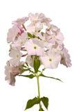 De bloemen van de flox Stock Afbeelding