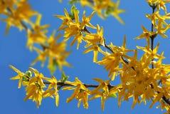 De bloemen van de forsythia Stock Foto's