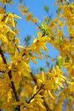 De bloemen van de forsythia Royalty-vrije Stock Afbeeldingen