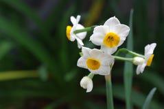 De bloemen van de gele narcis stock foto