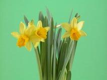 De bloemen van de gele narcis Royalty-vrije Stock Afbeelding