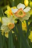De bloemen van de gele narcis in bloei Stock Foto
