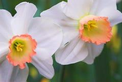 De bloemen van de gele narcis in bloei Stock Fotografie