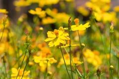 De bloemen van de goudsbloem Royalty-vrije Stock Foto