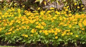 De bloemen van de goudsbloem Stock Foto's