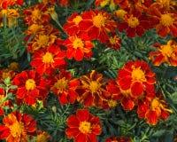 De bloemen van de goudsbloem Stock Afbeelding