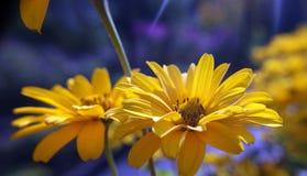 De bloemen van de goudsbloem Royalty-vrije Stock Afbeelding
