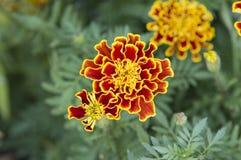 De bloemen van de goudsbloem stock foto