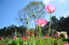 de bloemen van de graanpapaver onder de hemel Royalty-vrije Stock Afbeeldingen