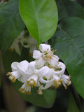 De bloemen van de grapefruit royalty-vrije stock afbeeldingen