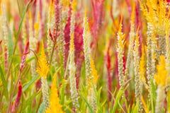 De bloemen van de hanekam Stock Afbeelding