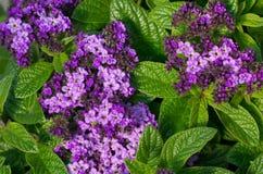De bloemen van de heliotroop in bloei Stock Afbeeldingen