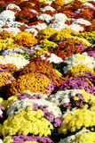 De bloemen van de herfst mum Stock Fotografie